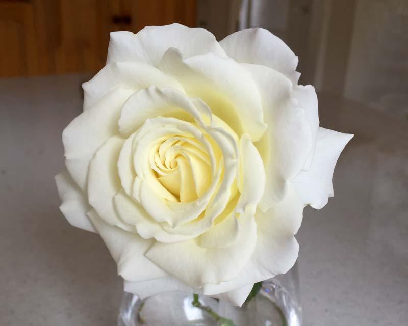 Rosa hybrid Tea John Paul II this beautiful white rose makes a wonderful cut flower