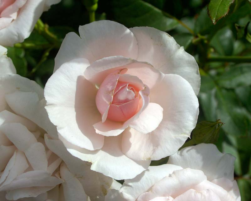 Rosa Hybrid Tea - this is Queen Elizabeth