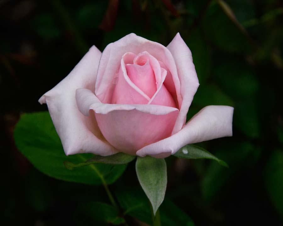 Rosa Hybrid Tea - Royal Highness