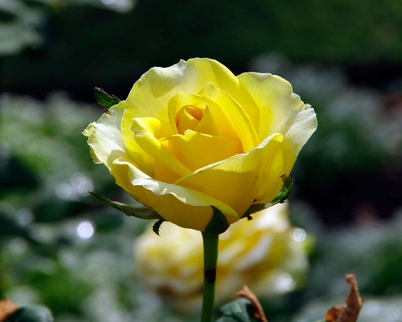 Rosa Hybrid Tea - this is St Patrick