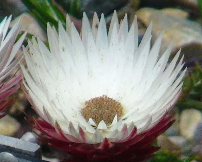 Edmondia pinifolia