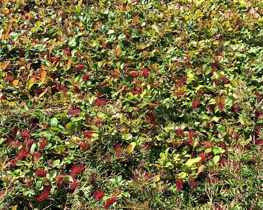 Grevillea laurifolia 'Blue Mountain Rambler' prostrate shrub - ground cover for a sunny spot