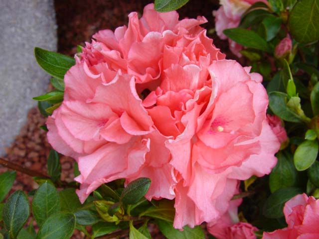Azalea indica 'Dancer' - small shrub with double salmon pink blooms