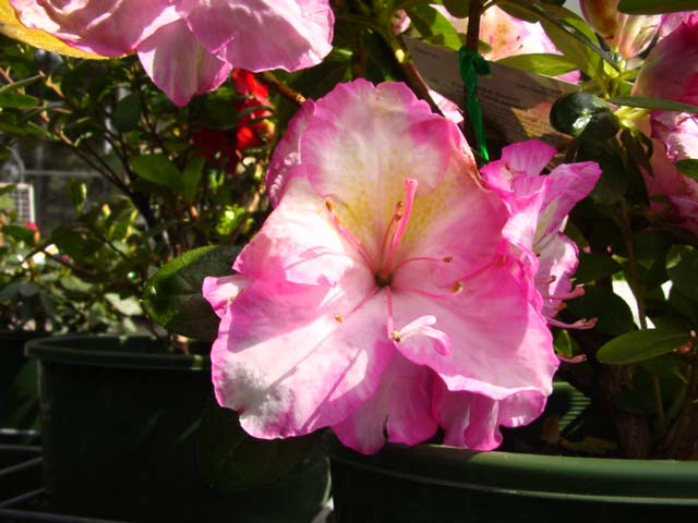 Azalea indica 'Evonne Goolagong' Compact bushy shrub to 1m.  Flowers are pale pink with deeper pink edges.