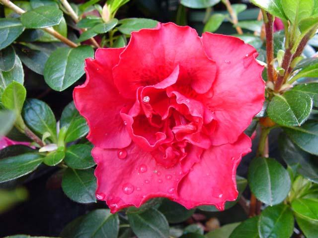 Azalea indica 'Goyet' - Medium sized shrub to 1.8m. Has wonderful deep red flowers in late winter, early spring