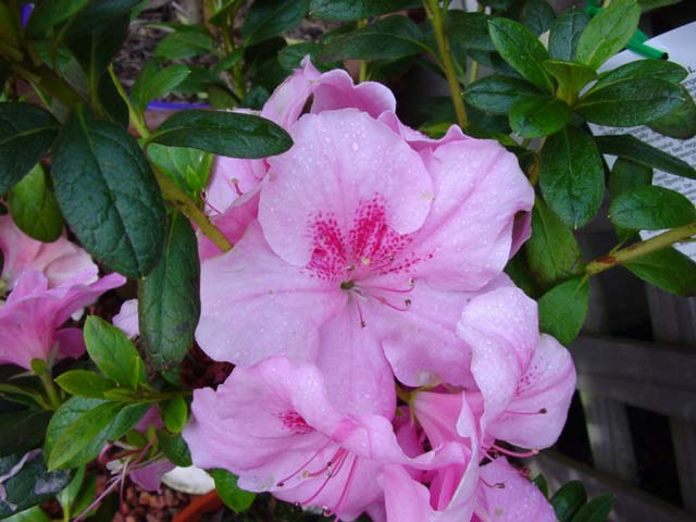 Azalea indica 'Dream Pink' Medium sized shrub with pink funnel shaped flowers with a deep pink flare.  Suitable for light shade and full sun.