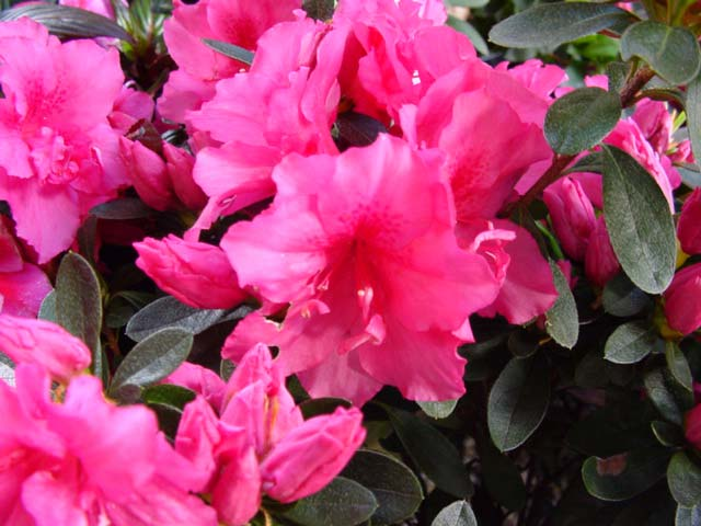 Azalea indica 'Rose King'  medium shrub to 1.8m Lovely pink flowers in late winter early spring.