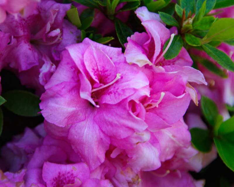 Rhododendron Rutherford 'Rose Queen' has semi-double, mid pink flowers.