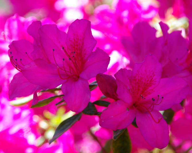 Rhododendron Indica hybrid 'Magnifica'