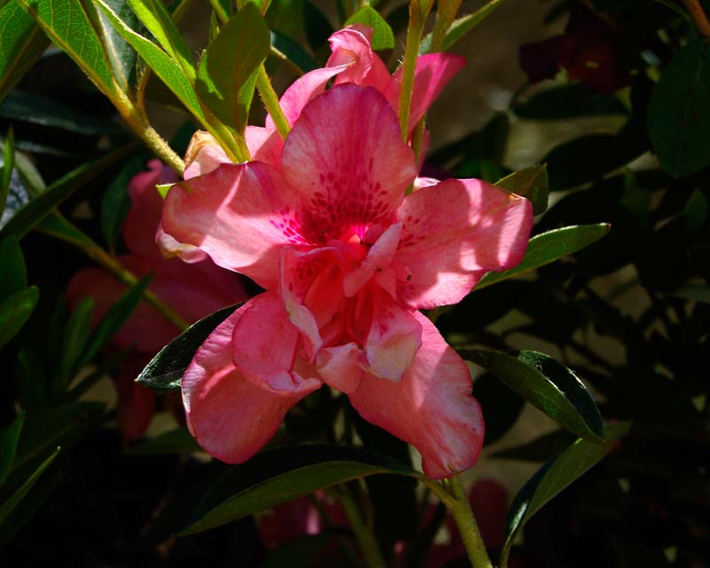 Rhododendron Indica hybrids 'Splendens'