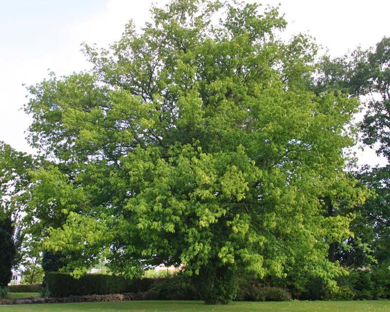 Gardensonline Acer Negundo