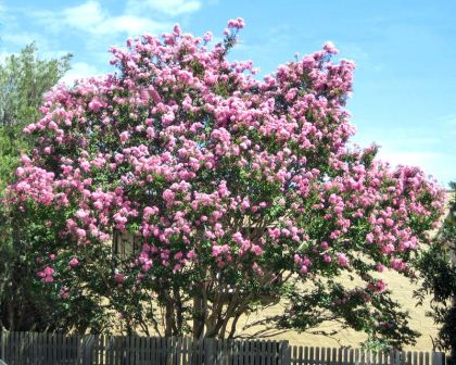 Gardensonline Lagerstroemia Indica X Fauriei Biloxi