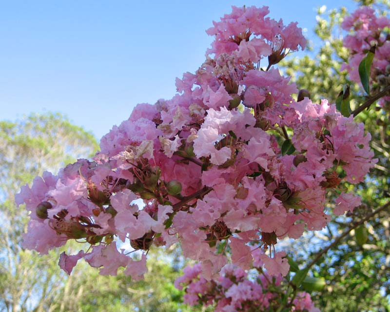 Lagerstroemia Yuma - pale pink flowered Crepe Myrtle
