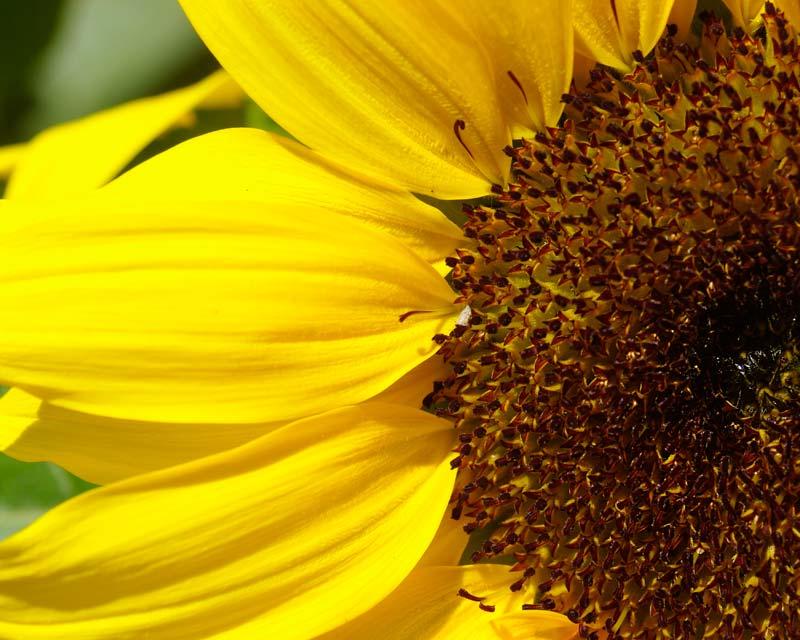 Helianthus annus, Sunflower