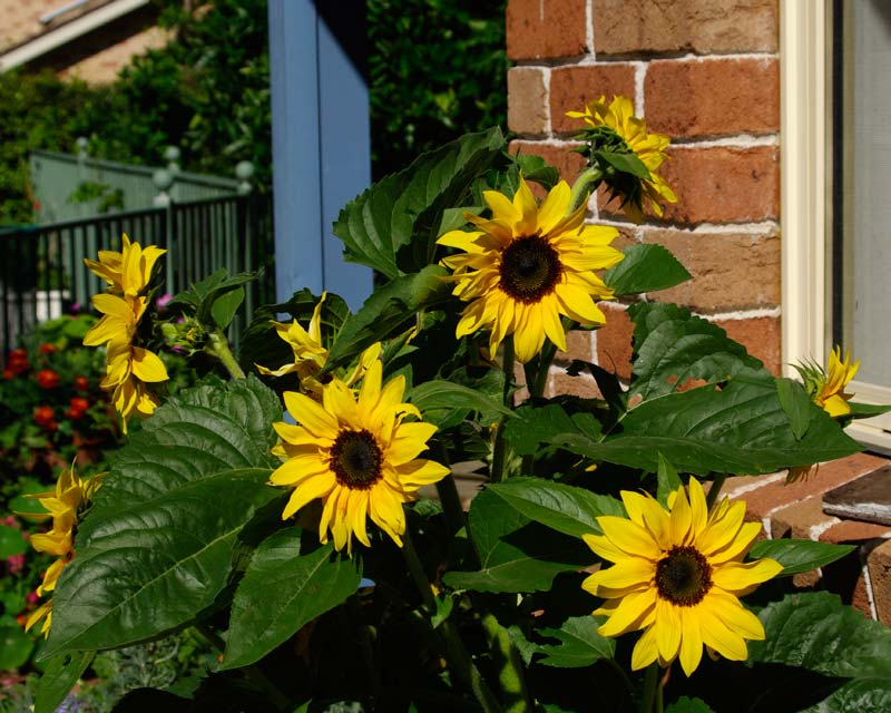 Helianthus annus - Sunflower - Dwarf multi-flowered variety - grown from Yates seeds