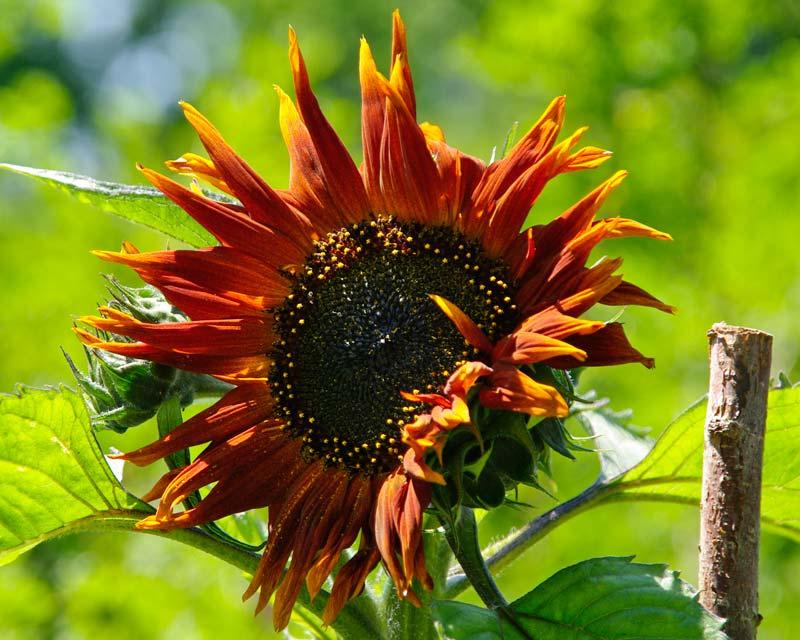 Helianthus cultivar - name unknown - bronze flower head