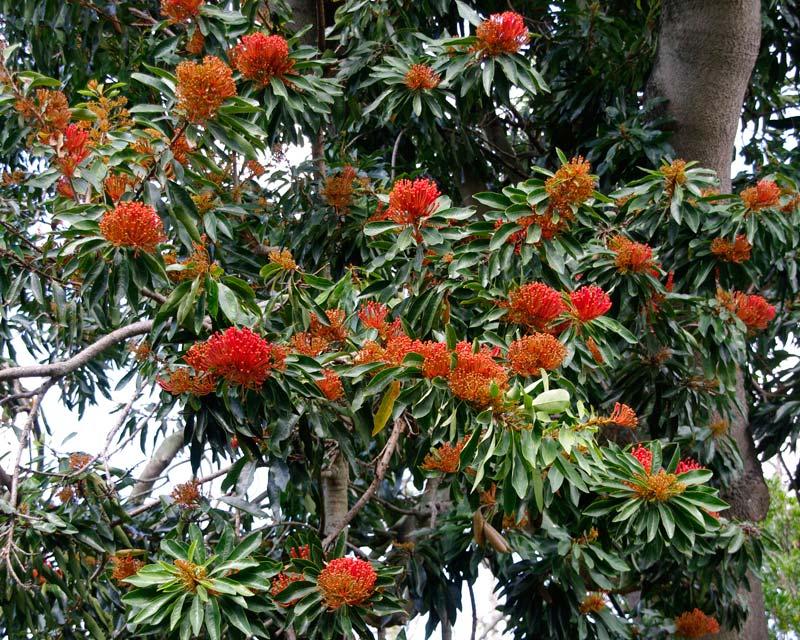 Alloxylon flammeum, Tree Waratah