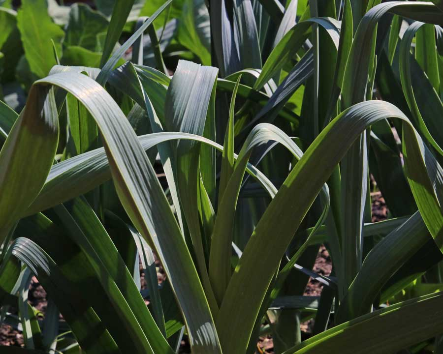 Allium porrum - Leeks