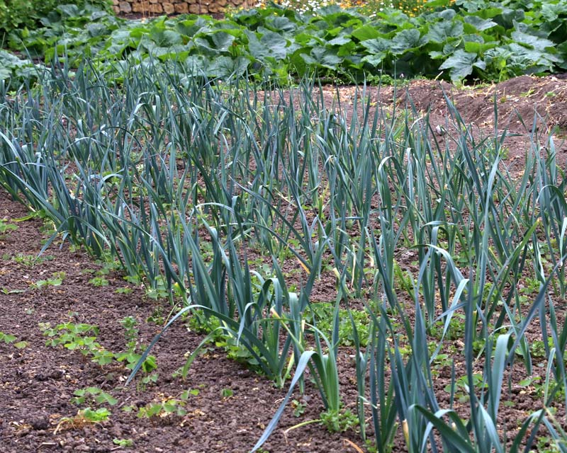 Allium porrum - A bed of healthy leeks variety Toledo
