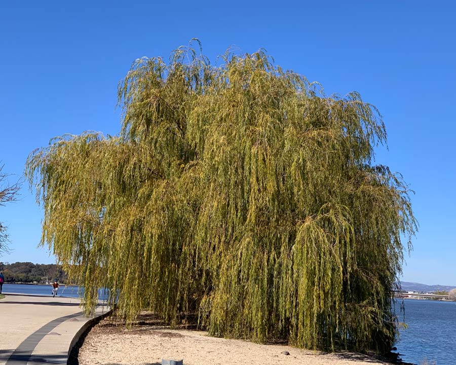 In autumn the leaves a rather dull yellow - Salix babylonica Weeping Willow