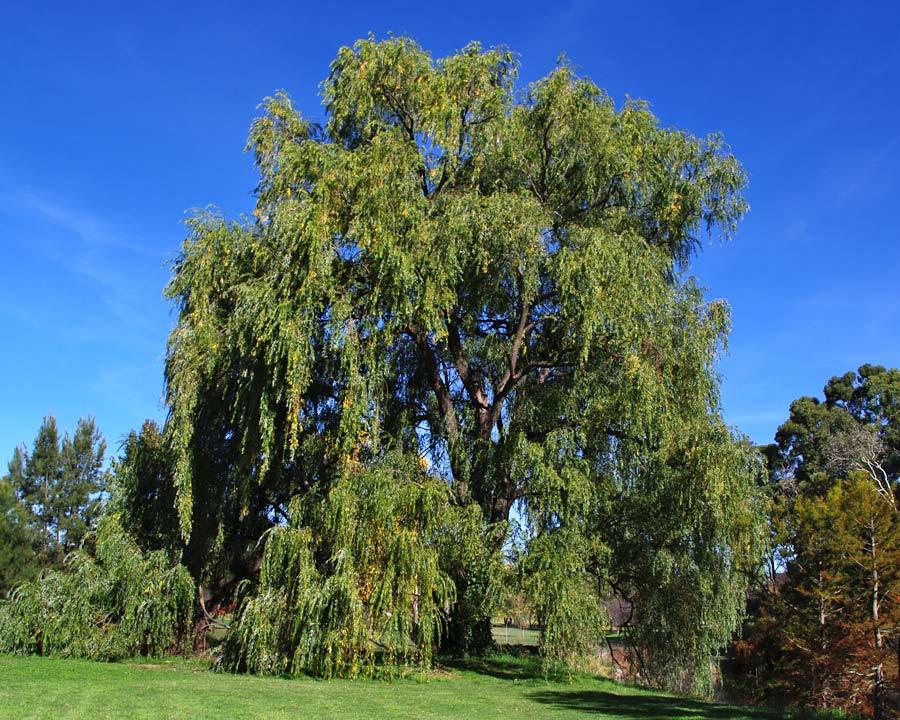 Salix babylonica - Chinese Weeping Willow - English Garden Yarralumba, Canberra