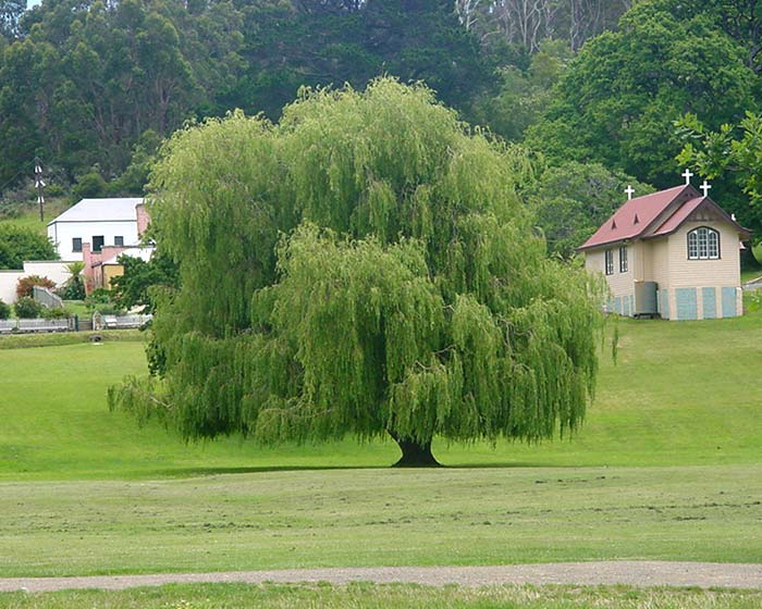 Salix babylonica - Weeping Willow as seen at Port Arthur, Tasmania.
