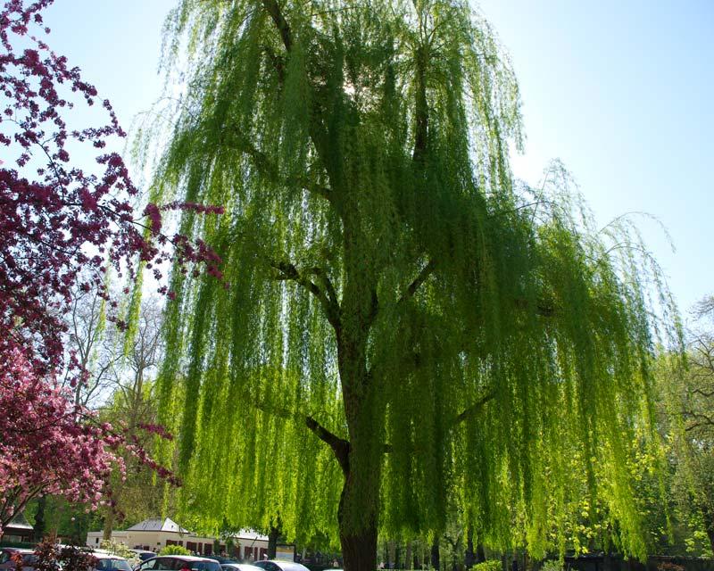 Gardensonline salix babylonica - Alberi da giardino resistenti al freddo ...