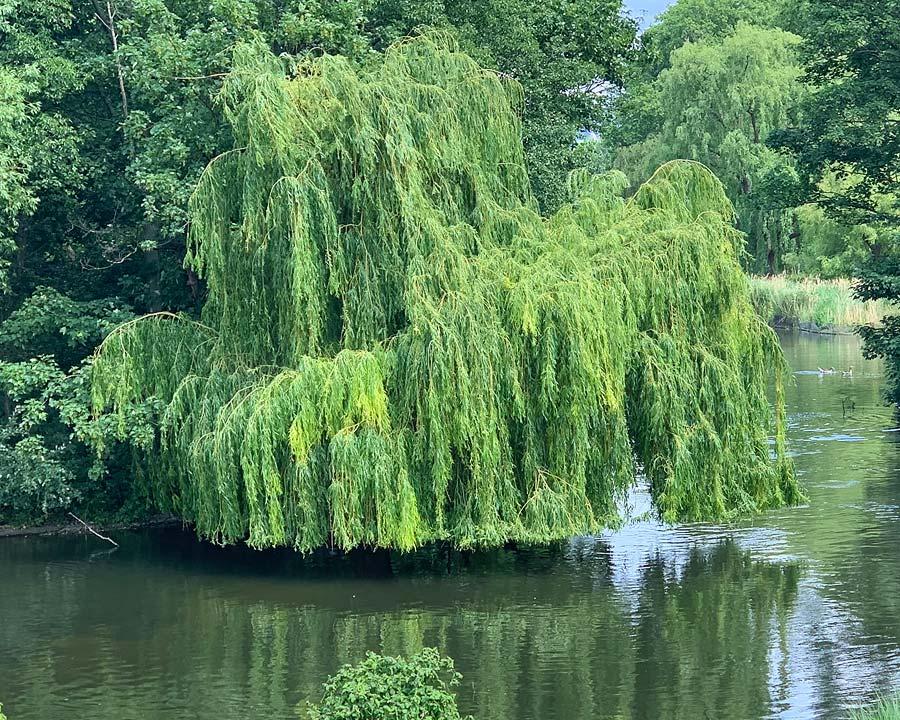 Salix babylonica - seen in St James Park, London