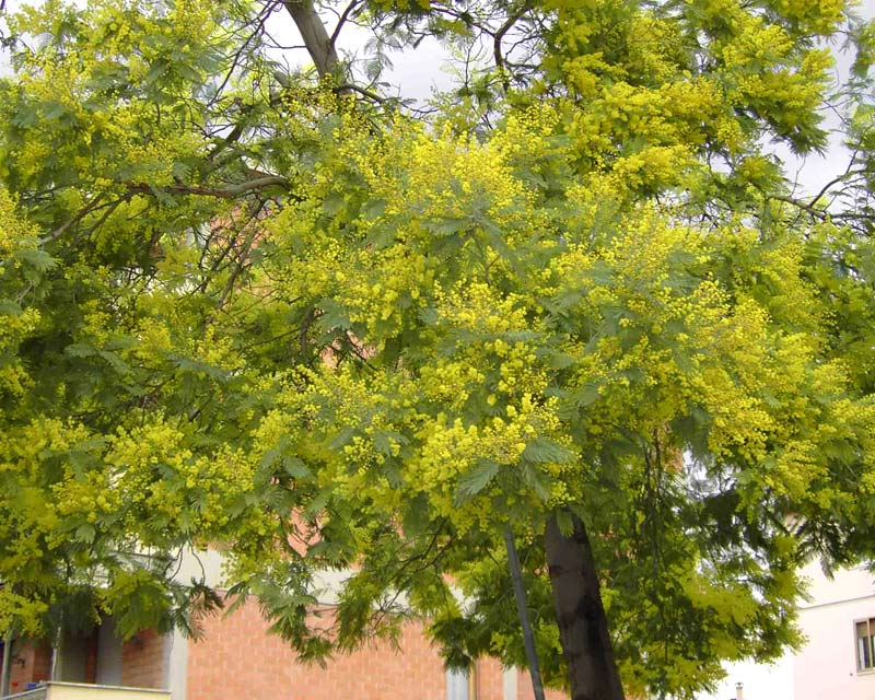 Acacia dealbata - masses of bright yellow globular flower heads