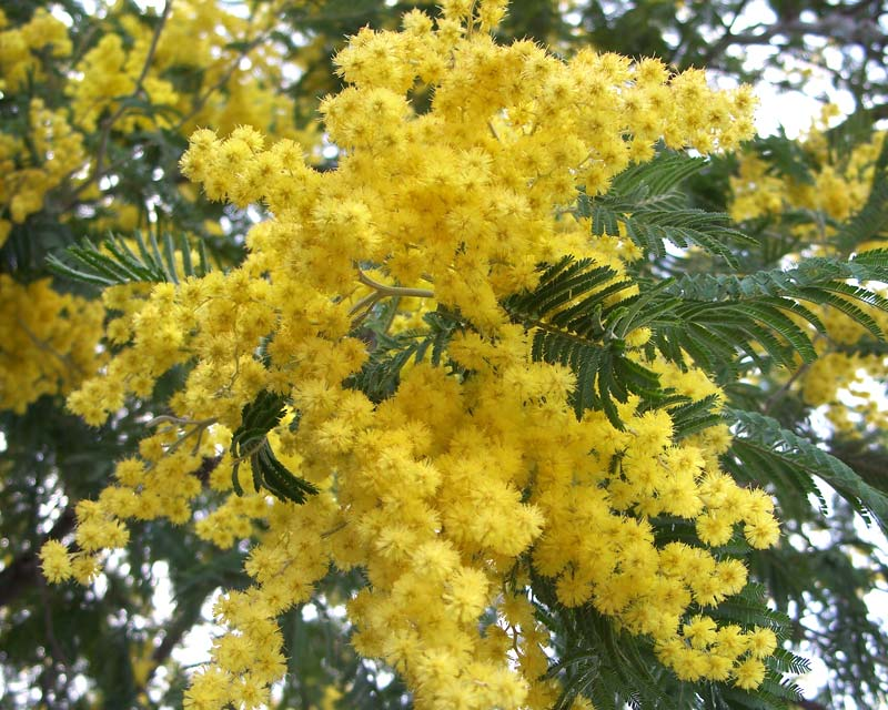 Acacia dealbata - photo Eugene Zelenko