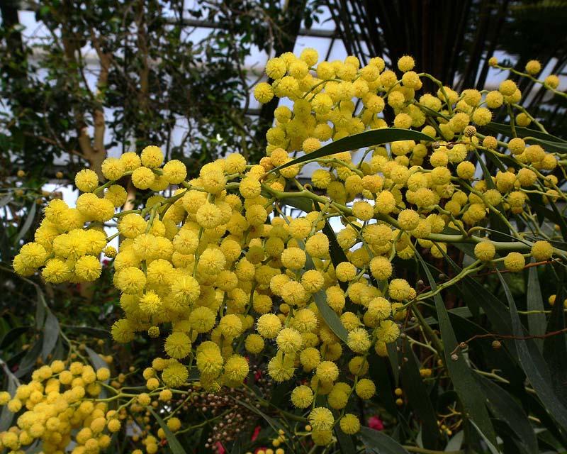 Acacia Pycnantha Gardensonline