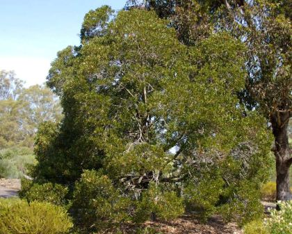 Acacia melanoxylon - Blackwood - tree often used to aid soil stabilisation