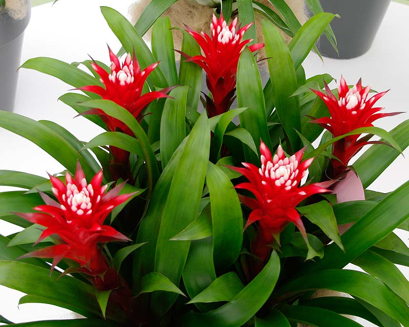 Guzmania lingulata Fortuna 'El Cope' has wonderful red bracts with attractive white tips.