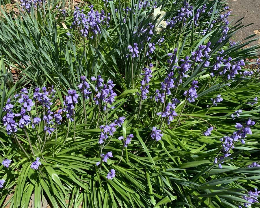 Hyacinthoides non-scripta - the Bluebell