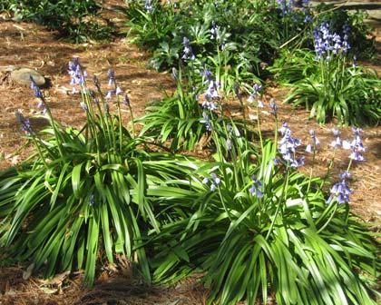 Hyacinthoides Non Scripta Bluebell