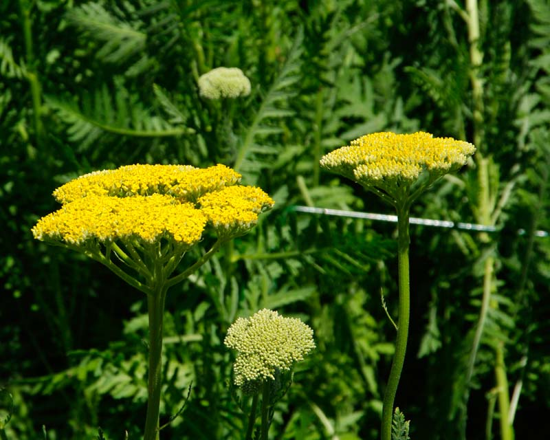 Achillea filipendulina Gold Plate has a corymb shape head of golden yellow flowers