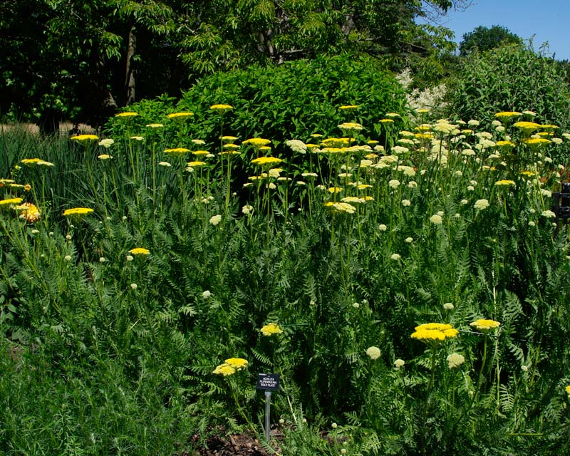 Achillea filipendulina Gold Plate  - great plant for garden borders - produces masses of golden yellow flowers heads from summer to autumn
