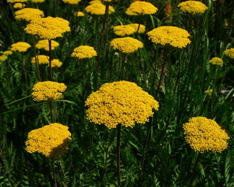 Achillea filipendulina Parker's Variety - has corymb shaped heads of bright yellow flowers