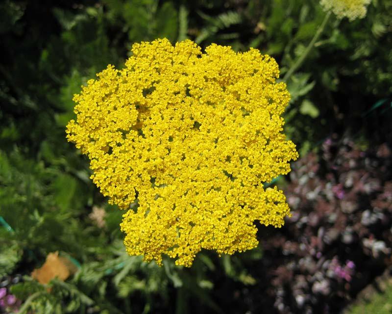 Achillea - a dense head of yellow flowers