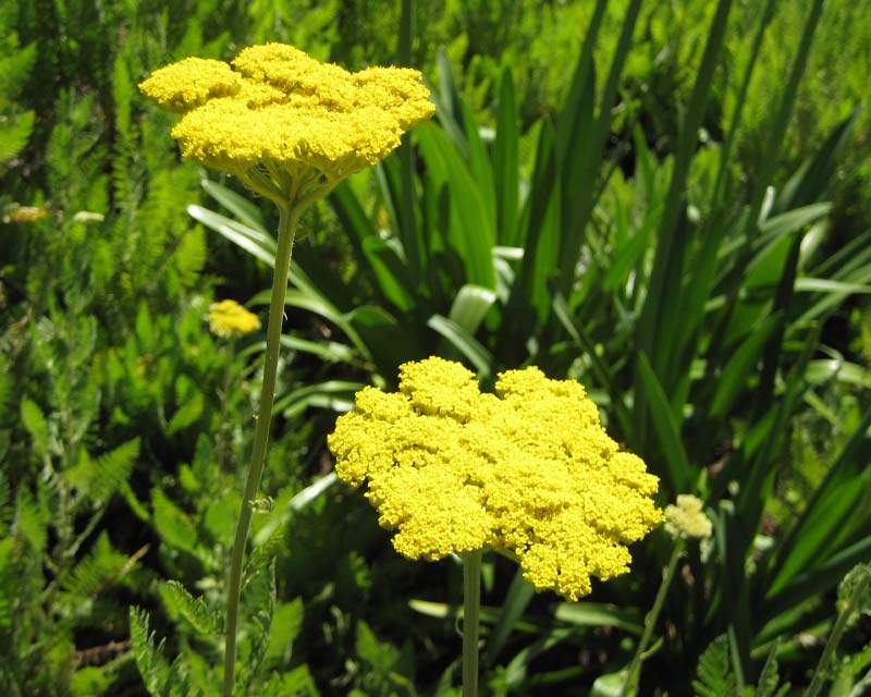 Achillea have a corymb shape inflorescence of yellow flowers