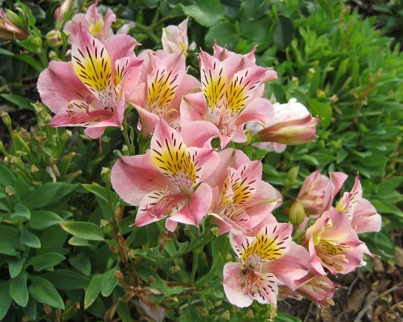 Gardensonline Alstroemeria Staprisara
