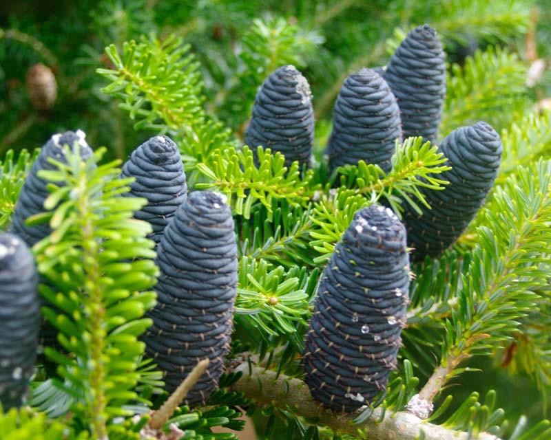 Abies Koreana - Korean Fir has blue-grey cones
