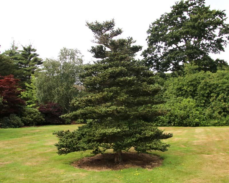 Abies Koreana - the Korean Fir - conical shape growing to between 10-18m tall