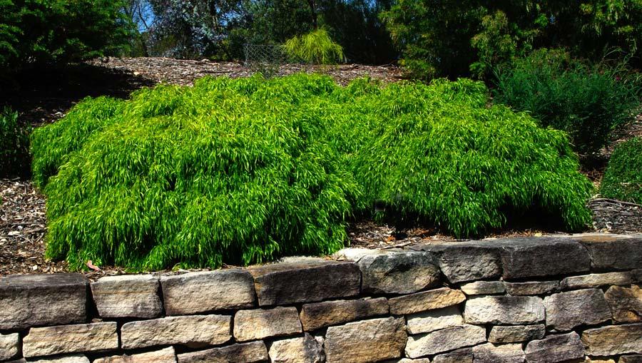 Acacia cognata Fettucine