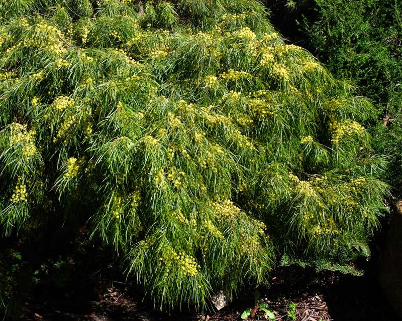 Acacia cognata Green Mist