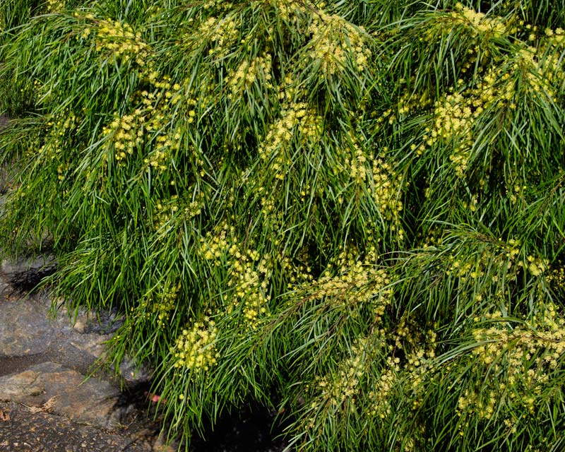 Acacia cognata Green mist is covered with yellow pom pom flowers