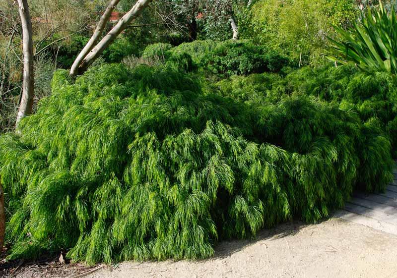 Acacia Cognata 'Green Mist'