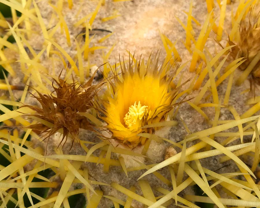 Bright Yellow papery flowers appear at the top of the Golden Barrel Cactus, Echinocactus grusonii.