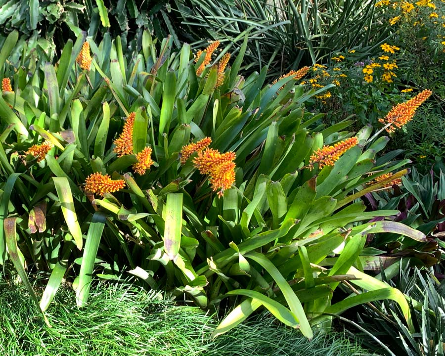 Aechmea caudata  - Sydney Botanic Gardens in early spring