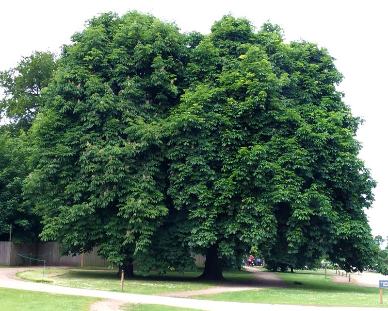 Aesculus hippocastanum - two trees making one vast crown